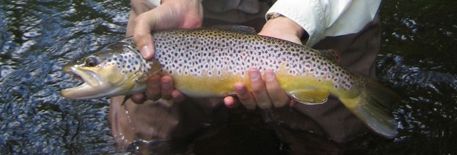 A South Branch Oconto Brown Trout