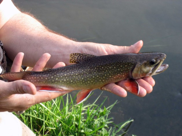 Salvelinus Fontinalis – Wisconsin's Native Trout is Actually a Char