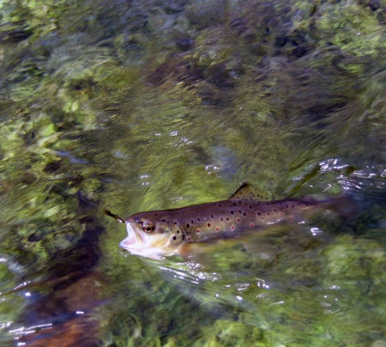 Small River Brown Trout